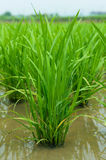 Young green rice. Royalty Free Stock Images