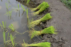 Young green rice farm Royalty Free Stock Images