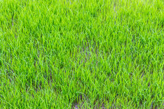 Young green rice field texture Stock Photography