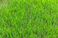 Young green rice field texture Royalty Free Stock Photos
