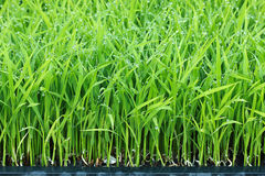 Young green rice paddy plant Royalty Free Stock Photo