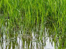 Young green rice plant with reflection in close up in Ayutthaya province, central part of Thailand. With sky background Stock Photography