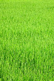 Young green rice plants Royalty Free Stock Images