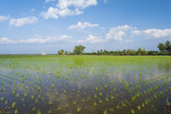 Young green rice in rice field. Stock Images
