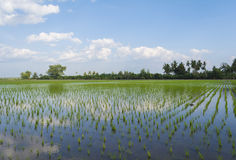 Young green rice in rice field. Stock Photography