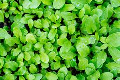 A young, green rucola salad, for dietary nutrition, growing on the bed royalty free stock photos