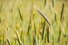 Young green rye ears. Royalty Free Stock Photos
