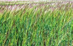 Young green rye ears Stock Photo