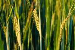 Young green rye grains in the field. Natural corn growing up. Royalty Free Stock Photography