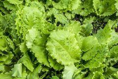 Green salad is growing in the garden in the open field. Young, green salad on a bed close-up stock images