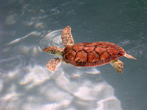 Young Green Sea Turtle. Swimming in holding pool prior to release at Xcaret Eco Park, Mexico royalty free stock image