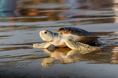 Young green sea turtle on the beach. Young green sea turtle (Chelonia Mydas) heading by wet beach to the ocean stock photos