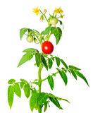 Young green seedling of fresh ripe red tomatoes fruit and flower Royalty Free Stock Photo