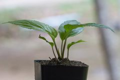 Young green seedling passiflora plant in clay flowerpot. On window royalty free stock photos