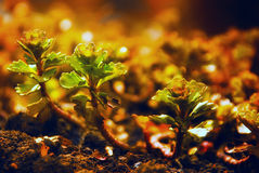 Young green seedling of plant tree germinate from the black soil at sunset time.  Stock Photo