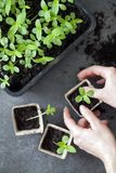 Young green seedlings Stock Images