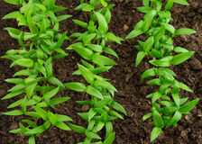 Pepper seedlings. Young green seedlings of pepper Stock Photography