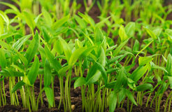 Pepper seedlings Royalty Free Stock Photos