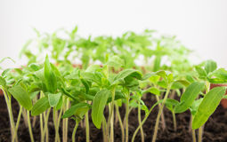 Tomato seedlings. Young green seedlings of tomato Royalty Free Stock Photography