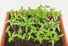Tomato seedlings. Young green seedlings of tomato Royalty Free Stock Photo