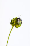 Young green shield bug (palomena prasina). Stock Photo