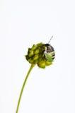 Young green shield bug (palomena prasina). Nice bug from hemiptera order close up on a light background Stock Photo