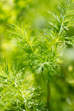 Young green shoots of fennel, parsley. And other greenery entirely covered with drops of morning dew Royalty Free Stock Image