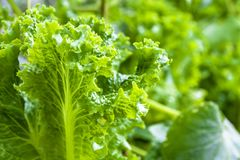 Young green shoots of lettuce close-up in natural conditions.  stock photography