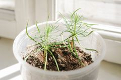 Young green shoots of pine in plastic pot on window. royalty free stock photography