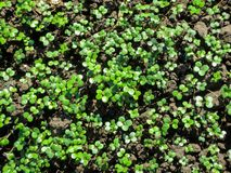 Young green shoots of Sinapis arvensis top view. royalty free stock photography