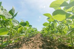 Young green soy plants with large leaves grow in the field. Agriculture Royalty Free Stock Images