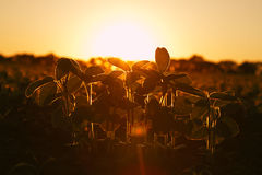 Young green soybean plants in evening light Stock Photography