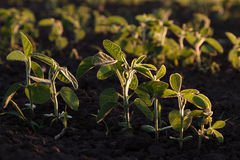 Young green soybean plants in evening light Stock Image