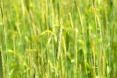 Young green spikelet. Corn in the field. Young wheat germ. Stock Photos