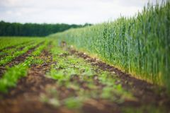 Young green spikelets of wheat Stock Images