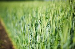 Young green spikelets of wheat Royalty Free Stock Photo