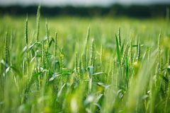 Young green spikelets of wheat Stock Image