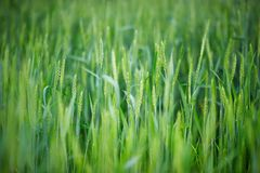 Young green spikelets of wheat Royalty Free Stock Photos