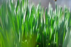 Young green of spring grass. Background bokeh Stock Images