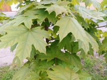 Young green spring leaves of maple close-up Stock Image