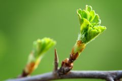 Young green spring leaves of a tree Royalty Free Stock Image