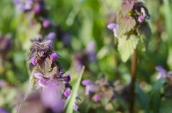 hemp nettle is blooming in a garden stock images