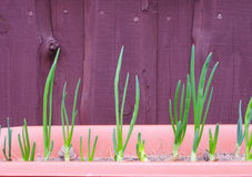 Young green spring onions Stock Photography