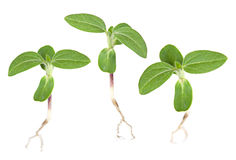 Young green sprout Stock Image