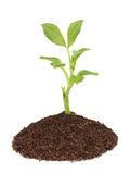 Young green sprout. Royalty Free Stock Images