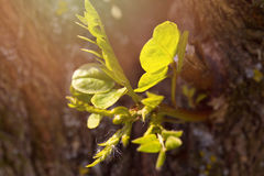 Young green sprout of an acacia on a tree trunk Royalty Free Stock Images
