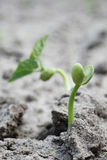 Young green sprout bean Royalty Free Stock Photography