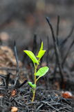 Young green sprout after fire. Royalty Free Stock Images