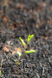 Young green sprout after fire. Stock Photography