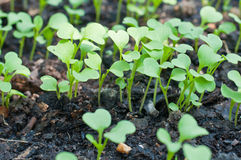 Young green sprout plant Royalty Free Stock Photography